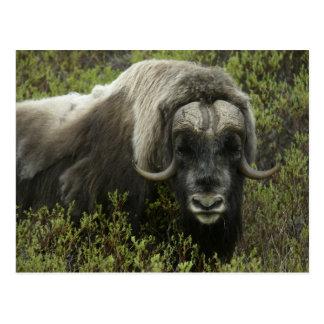 USA, Alaska, Nome. Close-up of musk ox Postcard