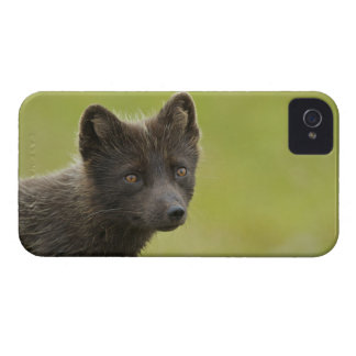 USA, Alaska, Pribilof Islands, St Paul. Blue 3 iPhone 4 Case-Mate Case