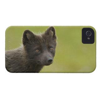 USA, Alaska, Pribilof Islands, St Paul. Blue 3 iPhone 4 Cases