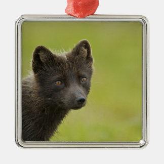 USA, Alaska, Pribilof Islands, St Paul. Blue 3 Metal Ornament