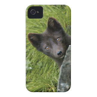 USA, Alaska, Pribilof Islands, St Paul. Blue iPhone 4 Case
