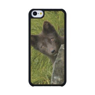 USA, Alaska, Pribilof Islands, St Paul. Blue Carved® Maple iPhone 5C Slim Case