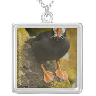 USA, Alaska, Pribilof Islands, St Paul. Tufted Necklace