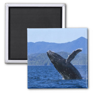 USA, Alaska, Prince of Wales Island. Humpback 2 Inch Square Magnet