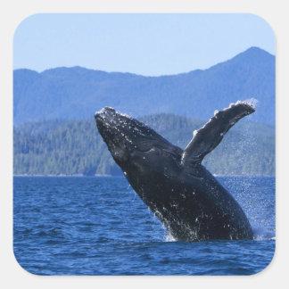 USA, Alaska, Prince of Wales Island. Humpback Square Sticker