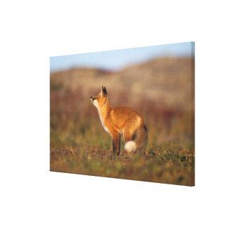 USA, Alaska, red fox, fall tundra colors, North Stretched Canvas Print