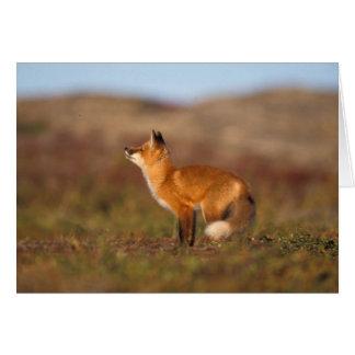 USA, Alaska, red fox, fall tundra colors, North Card