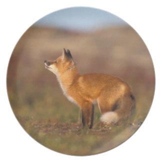 USA, Alaska, red fox, fall tundra colors, North Dinner Plate