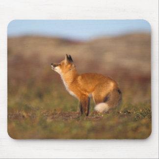 USA, Alaska, red fox, fall tundra colors, North Mouse Pad