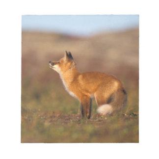 USA, Alaska, red fox, fall tundra colors, North Memo Pads