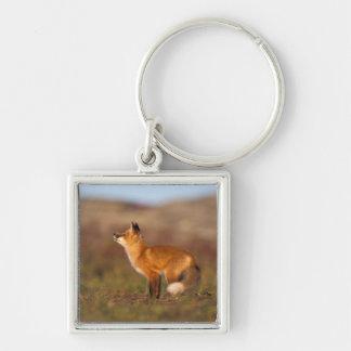 USA, Alaska, red fox, fall tundra colors, North Silver-Colored Square Keychain