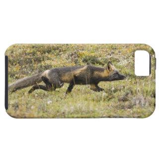 USA. Alaska. Red Fox stalks its prey at Denali iPhone 5 Covers