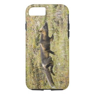 USA. Alaska. Red Fox stalks its prey at Denali iPhone 8/7 Case