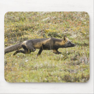 USA. Alaska. Red Fox stalks its prey at Denali Mouse Pad
