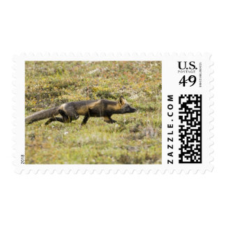USA. Alaska. Red Fox stalks its prey at Denali Postage