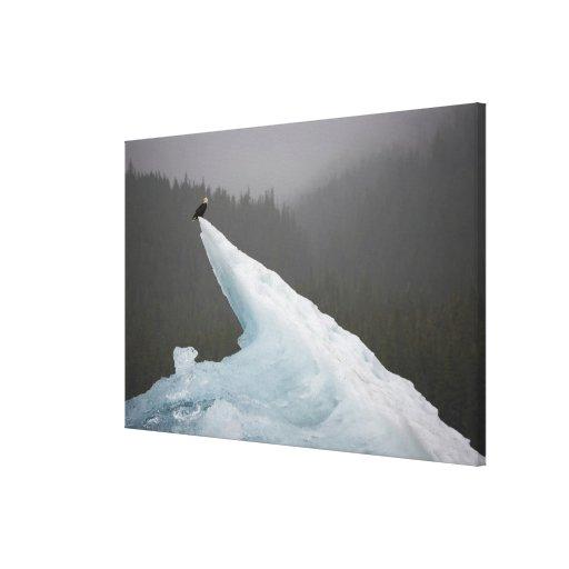 USA, Alaska, Tongass National Forest, Bald Stretched Canvas Print