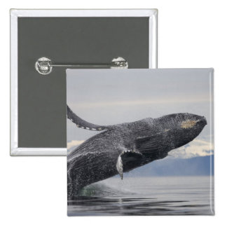 USA, Alaska, Tongass National Forest, Humpback 2 2 Inch Square Button