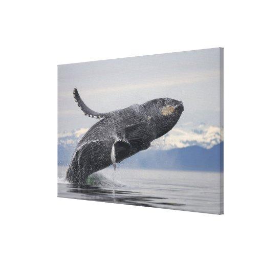 USA, Alaska, Tongass National Forest, Humpback 2 Stretched Canvas Prints
