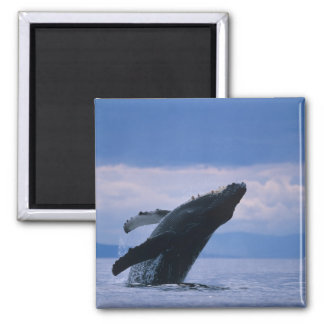 USA, Alaska, Tongass National Forest, Humpback 2 Inch Square Magnet