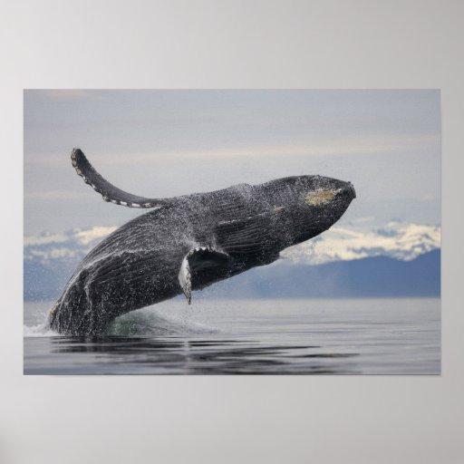 USA, Alaska, Tongass National Forest, Humpback 2 Posters