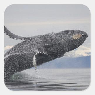 USA, Alaska, Tongass National Forest, Humpback 2 Square Sticker