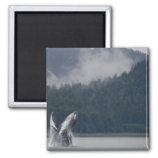USA, Alaska, Tongass National Forest, Humpback 3 2 Inch Square Magnet