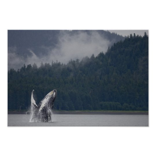 USA, Alaska, Tongass National Forest, Humpback 3 Poster