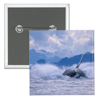 USA, Alaska, Tongass National Forest, Humpback 4 2 Inch Square Button