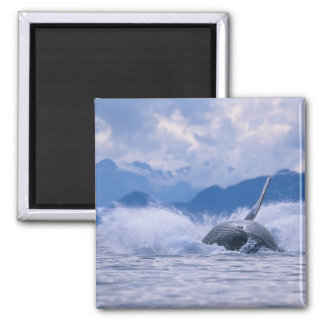 USA, Alaska, Tongass National Forest, Humpback 4 2 Inch Square Magnet