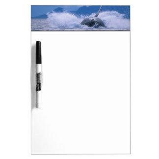 USA, Alaska, Tongass National Forest, Humpback 4 Dry-Erase Board