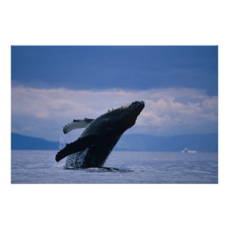 USA, Alaska, Tongass National Forest, Humpback Poster