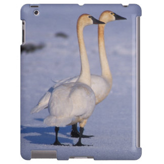 USA, Alaska, whistling swan adults, central