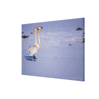 USA, Alaska, whistling swan adults, central Canvas Print