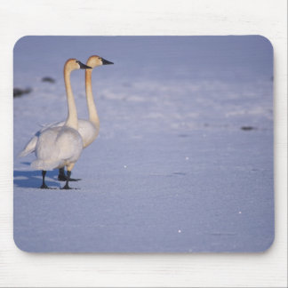 USA, Alaska, whistling swan adults, central Mouse Pad