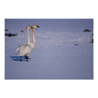 USA, Alaska, whistling swan adults, central Poster