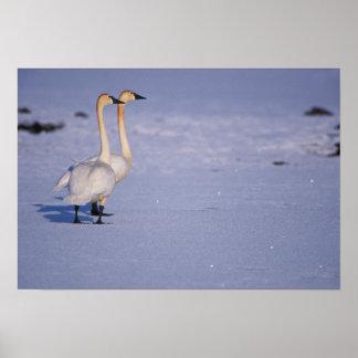 USA, Alaska, whistling swan adults, central Print
