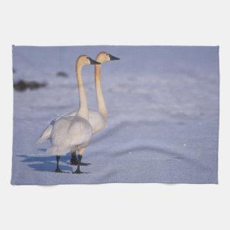 USA, Alaska, whistling swan adults, central Towel