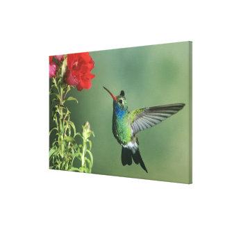 USA, Arizona. Broad-billed hummingbird male Canvas Print