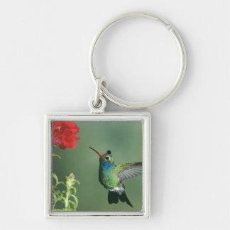 USA, Arizona. Broad-billed hummingbird male Keychain