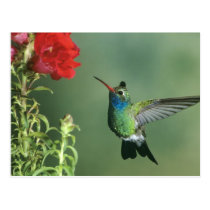 USA, Arizona. Broad-billed hummingbird male Postcard