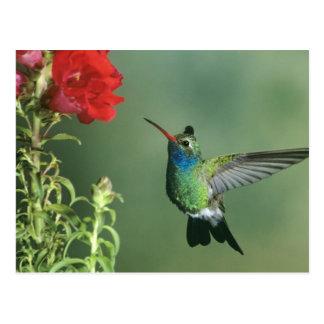 USA Arizona Broad-billed hummingbird male Postcards