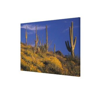 USA, Arizona, Organ Pipe Cactus National 2 Stretched Canvas Prints