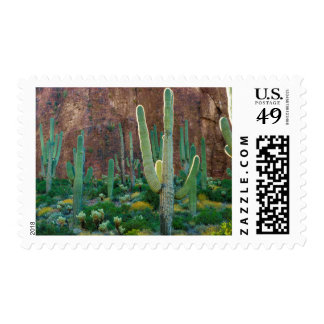 USA, Arizona. Saguaro Cactus Field By A Cliff Postage