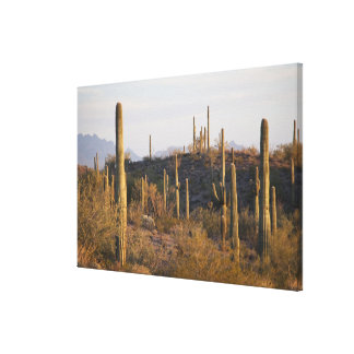 USA, Arizona, Sonoran Desert, Ajo, Ajo 2 Canvas Print