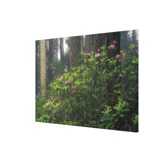 USA, California, Del Norte, Redwoods St. Park, Stretched Canvas Print