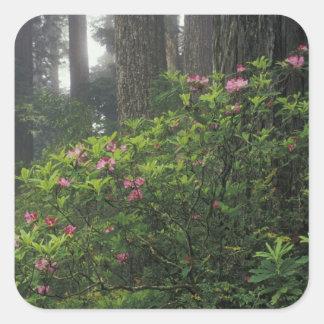 USA, California, Del Norte, Redwoods St. Park, Square Sticker