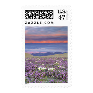 USA, California, Dumont Dunes. Sand verbena and Postage