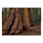 USA, California, Giant Sequoia tree Card