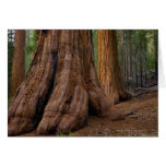 USA, California, Giant Sequoia tree Greeting Card