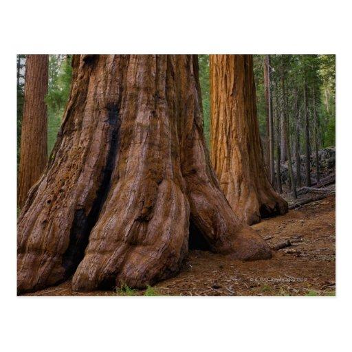 USA, California, Giant Sequoia tree Postcard